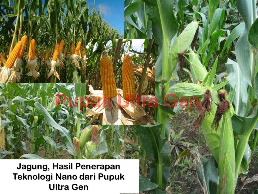 Aplikasi Ultra Gen pada tanaman Jagung