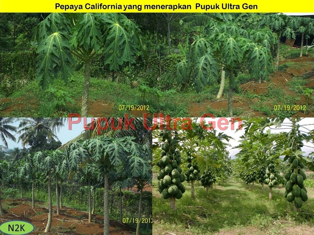 Ultra gen buah Pepaya