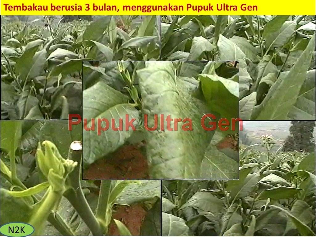"""Aplikasi Ultragen pada tanaman Tembakau"