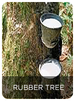 Application In rubber plants